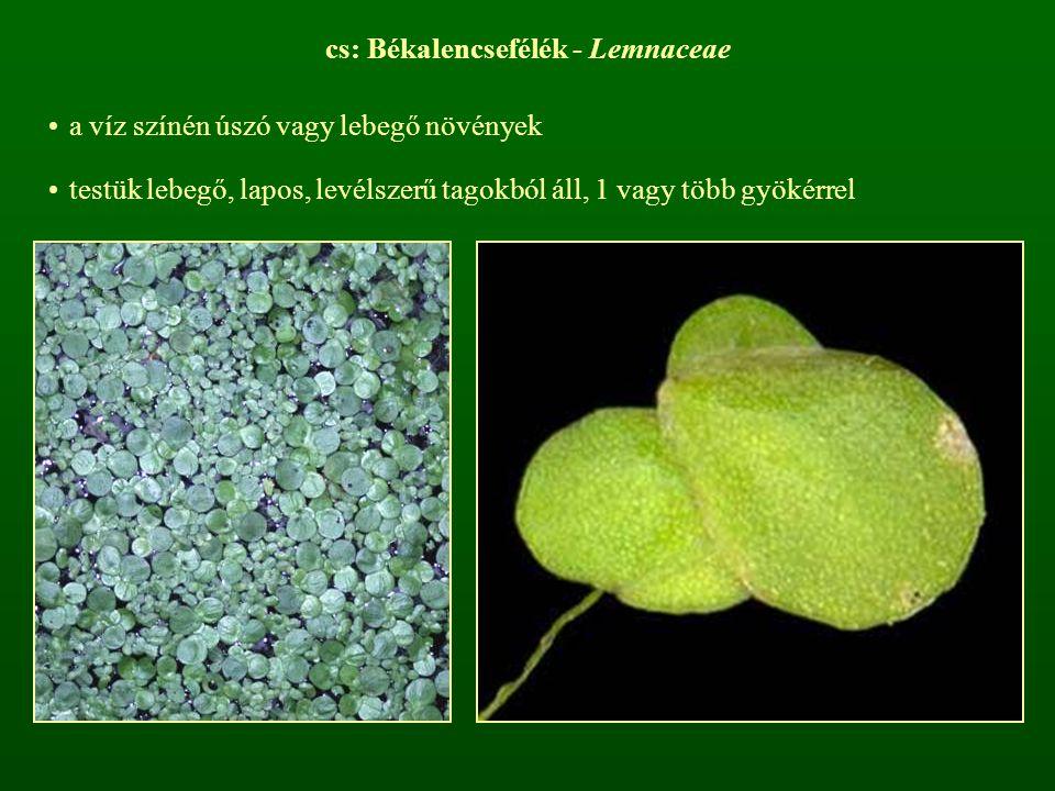 cs: Békalencsefélék - Lemnaceae