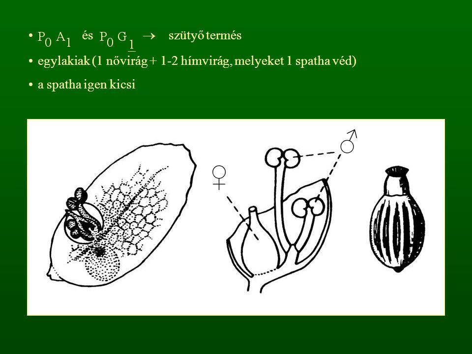 és  szütyő termés egylakiak (1 nővirág + 1-2 hímvirág, melyeket 1 spatha véd) a spatha igen kicsi.