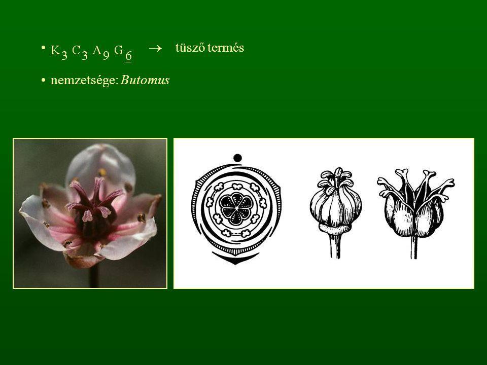  tüsző termés nemzetsége: Butomus