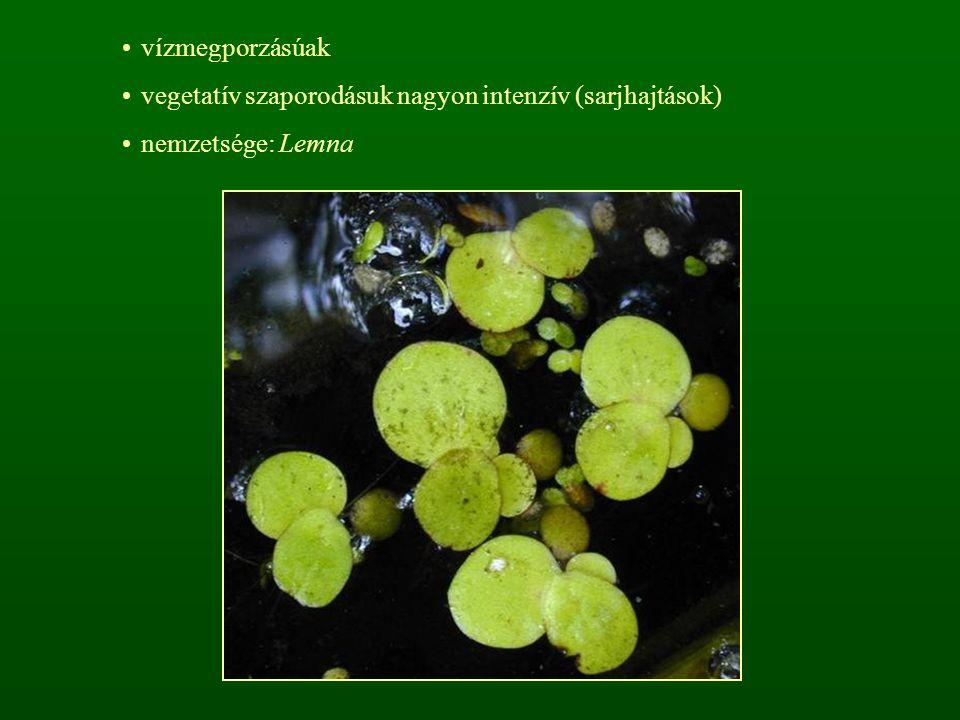vízmegporzásúak vegetatív szaporodásuk nagyon intenzív (sarjhajtások) nemzetsége: Lemna