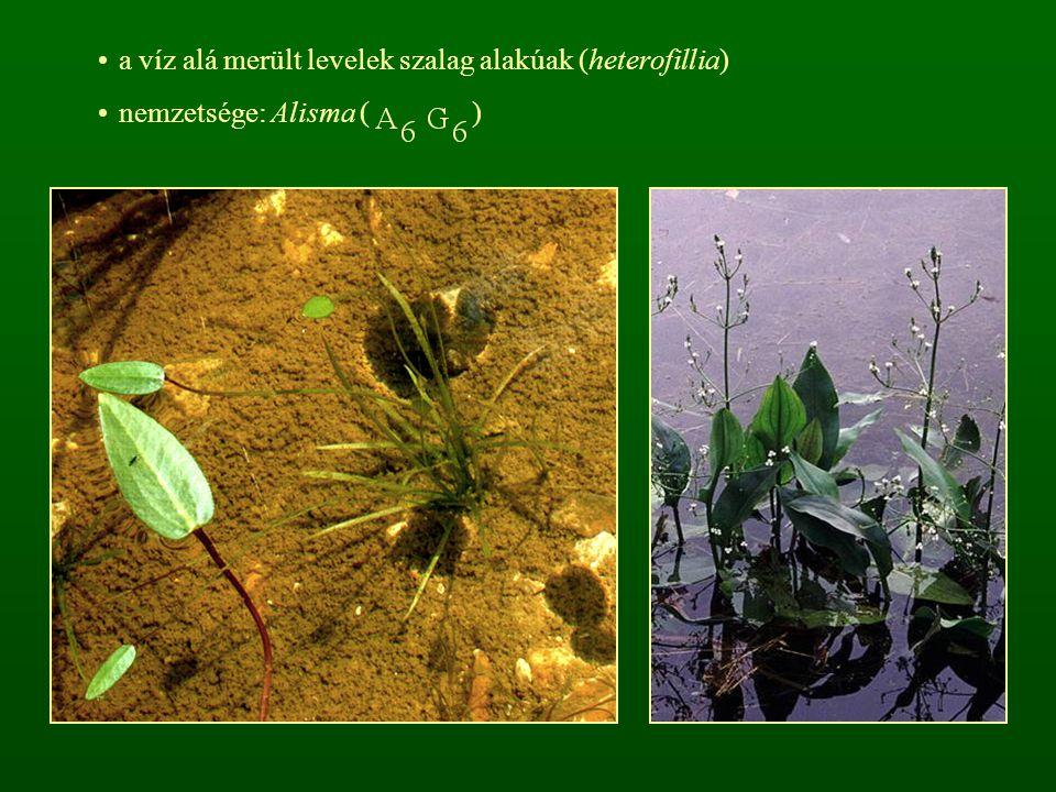 a víz alá merült levelek szalag alakúak (heterofillia)