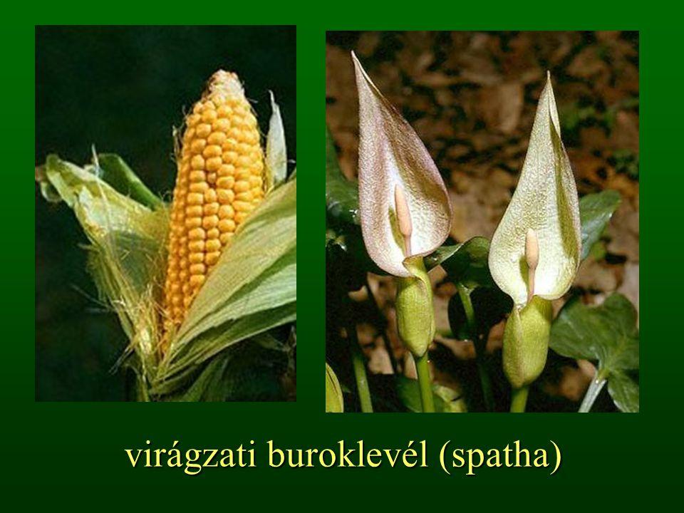 virágzati buroklevél (spatha)