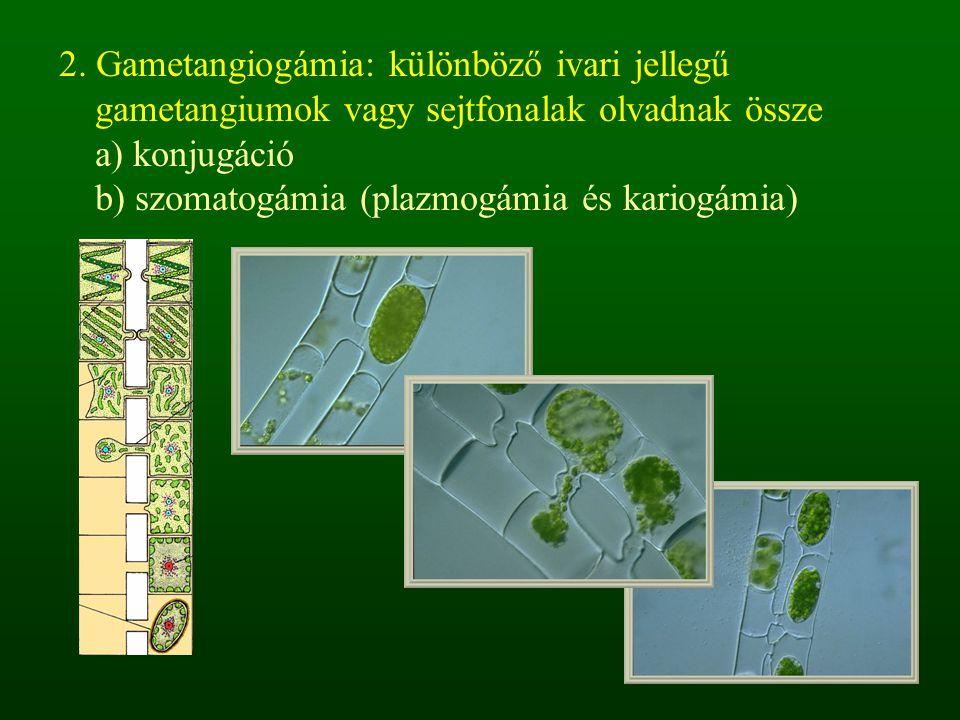 2. Gametangiogámia: különböző ivari jellegű gametangiumok vagy sejtfonalak olvadnak össze