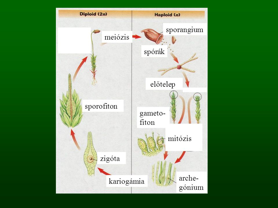 sporangium meiózis. spórák. előtelep. sporofiton. gameto- fiton. mitózis. zigóta. arche-gónium.
