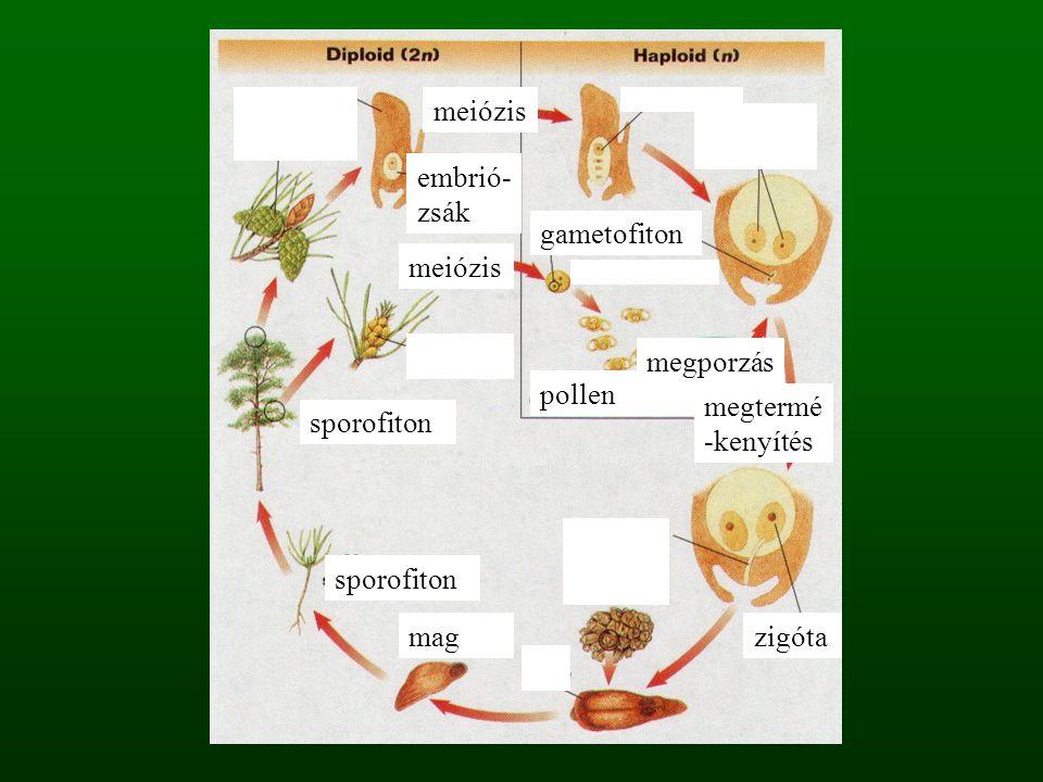 meiózis embrió-zsák. gametofiton. meiózis. megporzás. pollen. megtermé-kenyítés. sporofiton. sporofiton.