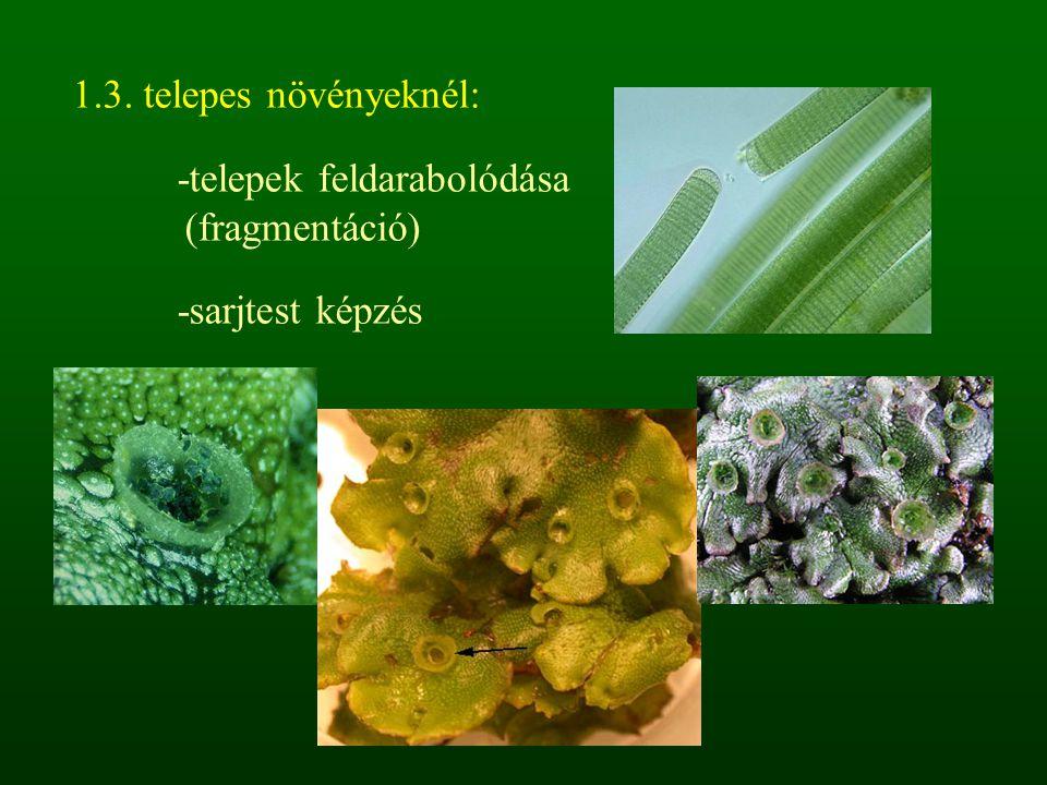 1.3. telepes növényeknél: -telepek feldarabolódása (fragmentáció) -sarjtest képzés