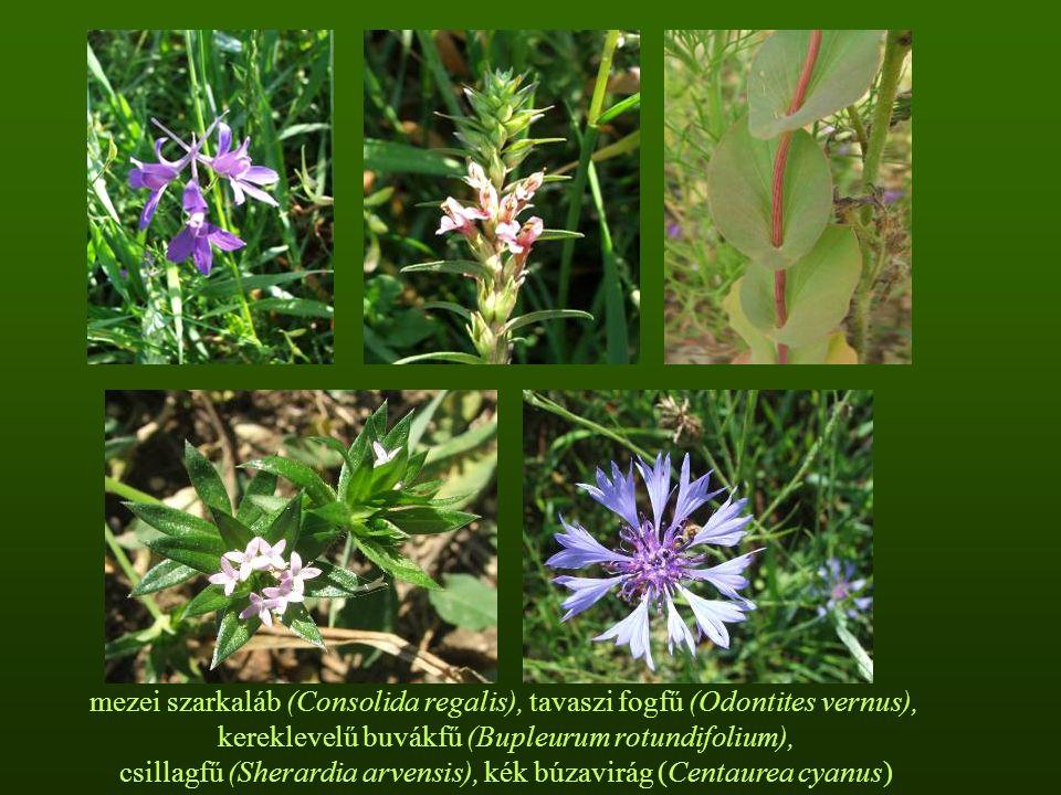 mezei szarkaláb (Consolida regalis), tavaszi fogfű (Odontites vernus),
