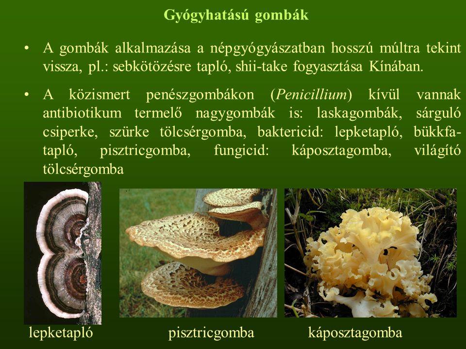 Gyógyhatású gombák A gombák alkalmazása a népgyógyászatban hosszú múltra tekint vissza, pl.: sebkötözésre tapló, shii-take fogyasztása Kínában.