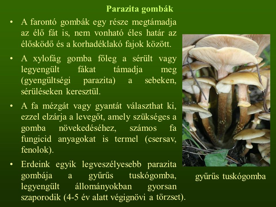 Parazita gombák A farontó gombák egy része megtámadja az élő fát is, nem vonható éles határ az élősködő és a korhadéklakó fajok között.