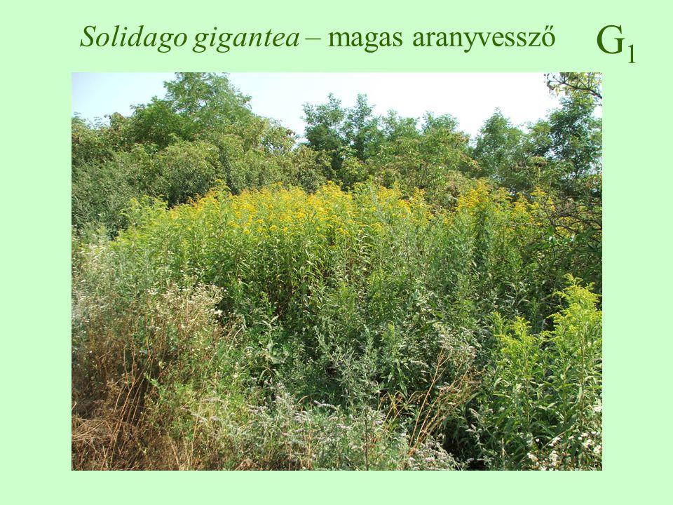 Solidago gigantea – magas aranyvessző