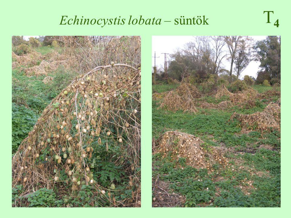 Echinocystis lobata – süntök