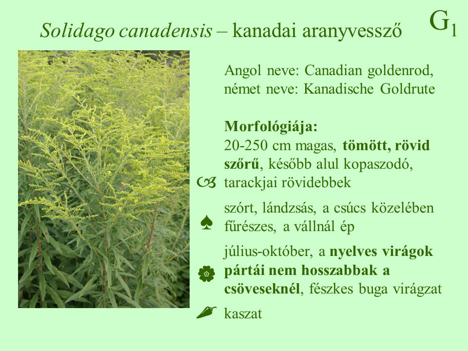 Solidago canadensis – kanadai aranyvessző