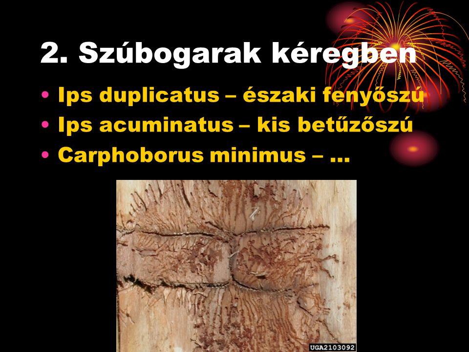 2. Szúbogarak kéregben Ips duplicatus – északi fenyőszú