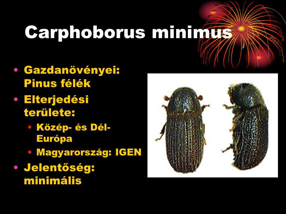 Carphoborus minimus Gazdanövényei: Pinus félék Elterjedési területe:
