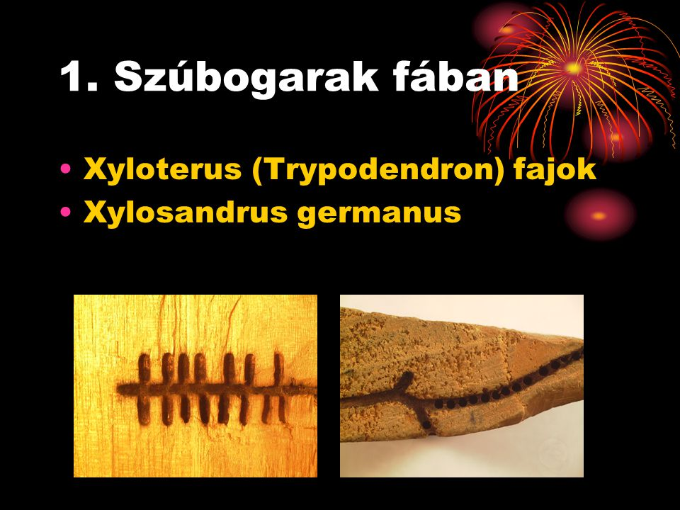 1. Szúbogarak fában Xyloterus (Trypodendron) fajok