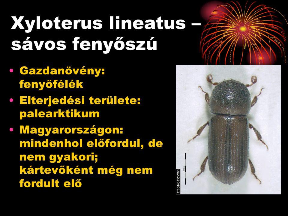 Xyloterus lineatus – sávos fenyőszú