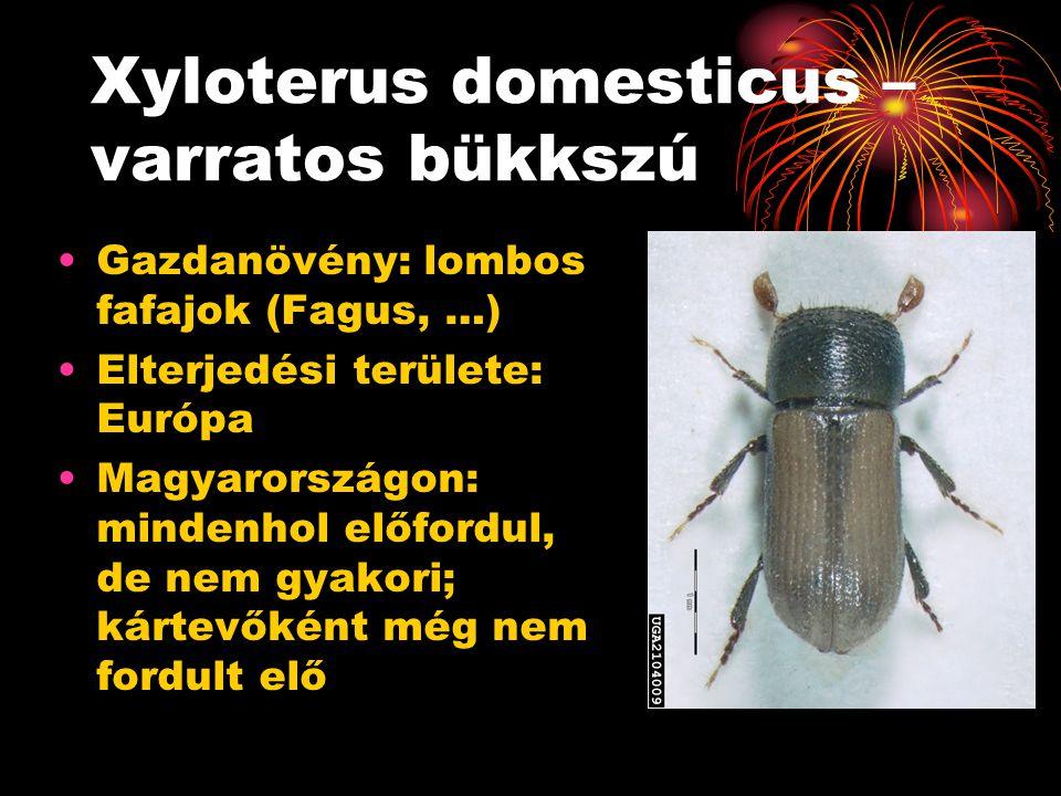 Xyloterus domesticus – varratos bükkszú