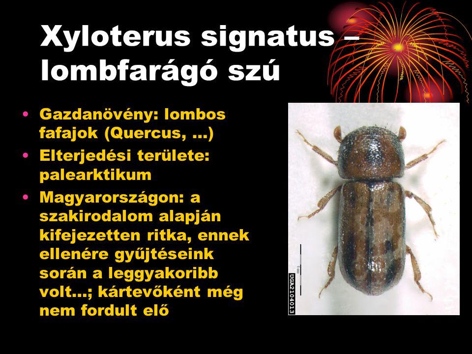 Xyloterus signatus – lombfarágó szú