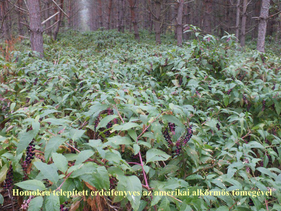 Homokra telepített erdeifenyves az amerikai alkörmös tömegével