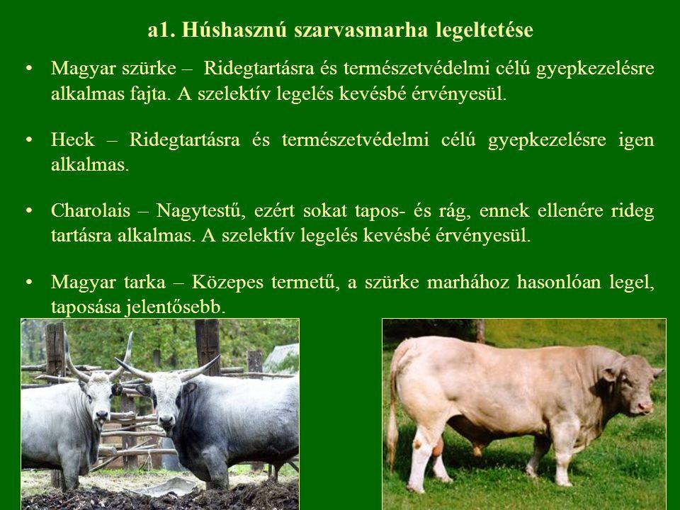 a1. Húshasznú szarvasmarha legeltetése