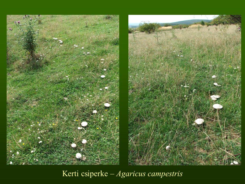 Kerti csiperke – Agaricus campestris