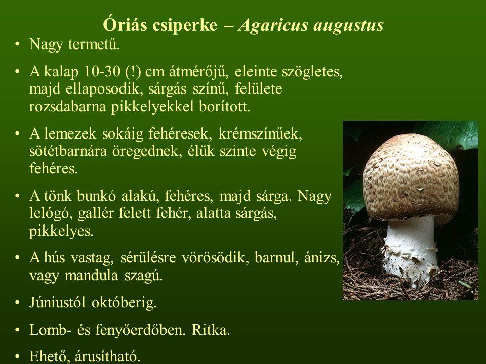 Óriás csiperke – Agaricus augustus