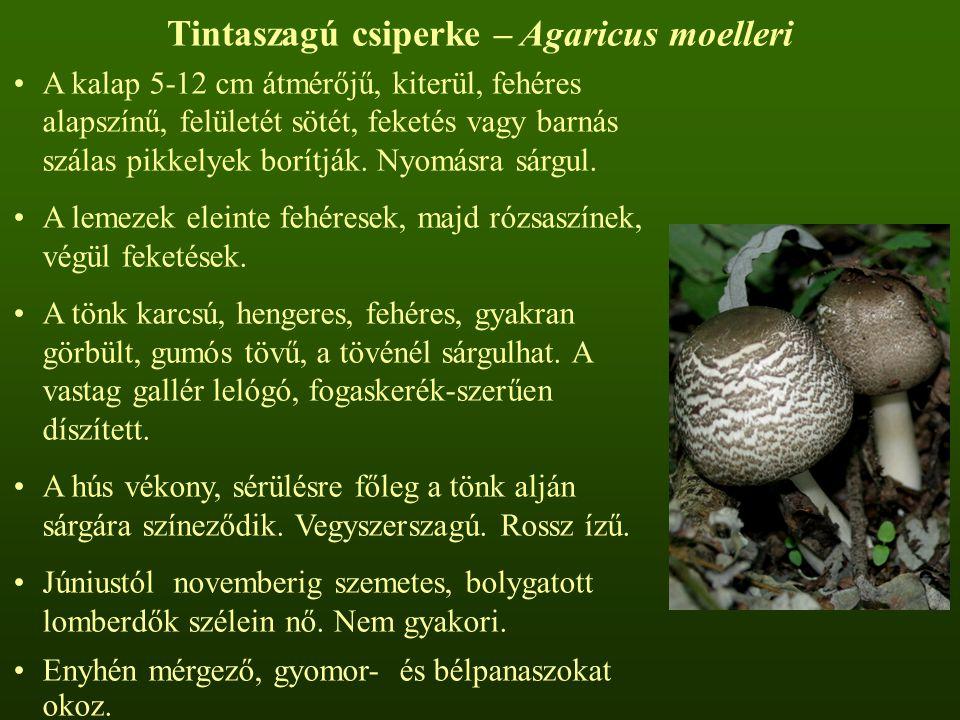 Tintaszagú csiperke – Agaricus moelleri