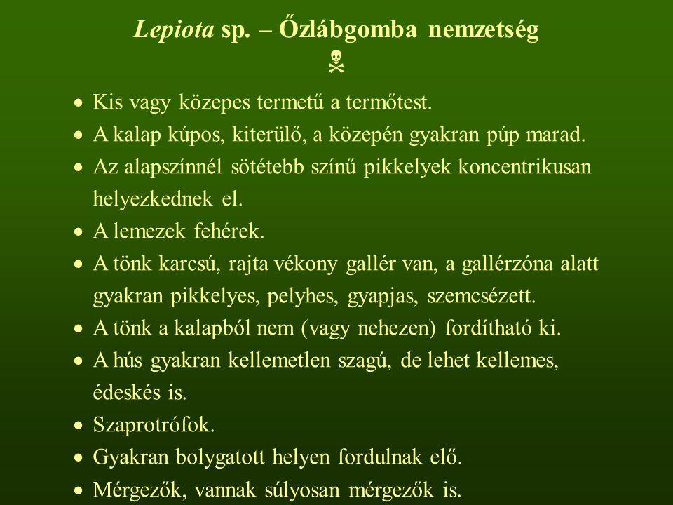 Lepiota sp. – Őzlábgomba nemzetség