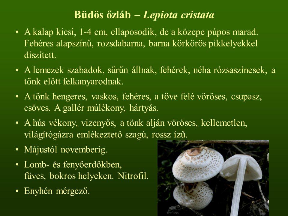 Büdös őzláb – Lepiota cristata