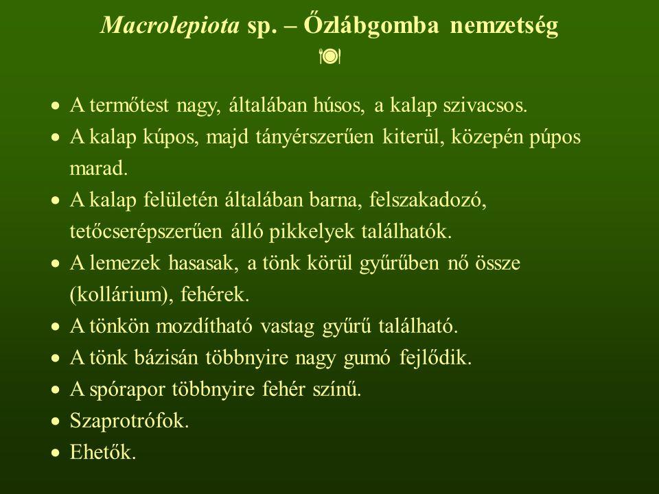 Macrolepiota sp. – Őzlábgomba nemzetség