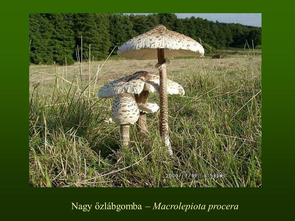 Nagy őzlábgomba – Macrolepiota procera