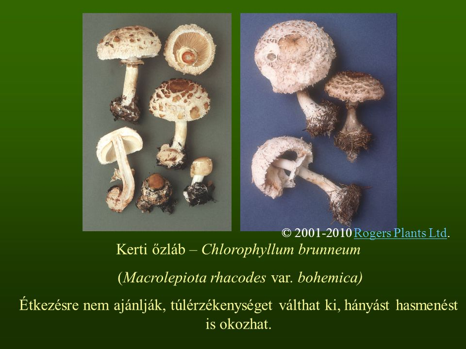 Kerti őzláb – Chlorophyllum brunneum