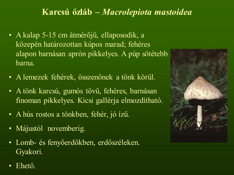 Karcsú őzláb – Macrolepiota mastoidea
