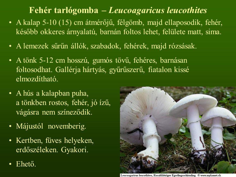 Fehér tarlógomba – Leucoagaricus leucothites