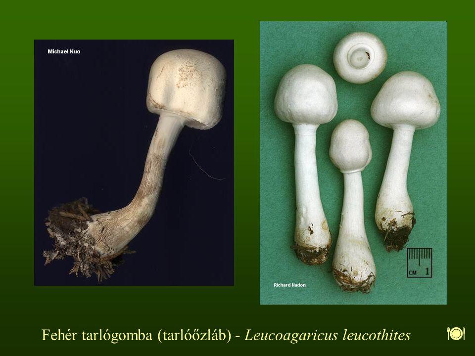 Fehér tarlógomba (tarlóőzláb) - Leucoagaricus leucothites 