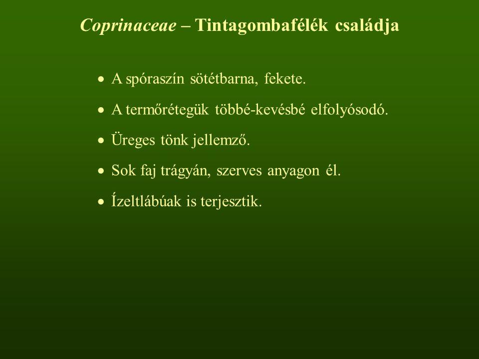 Coprinaceae – Tintagombafélék családja