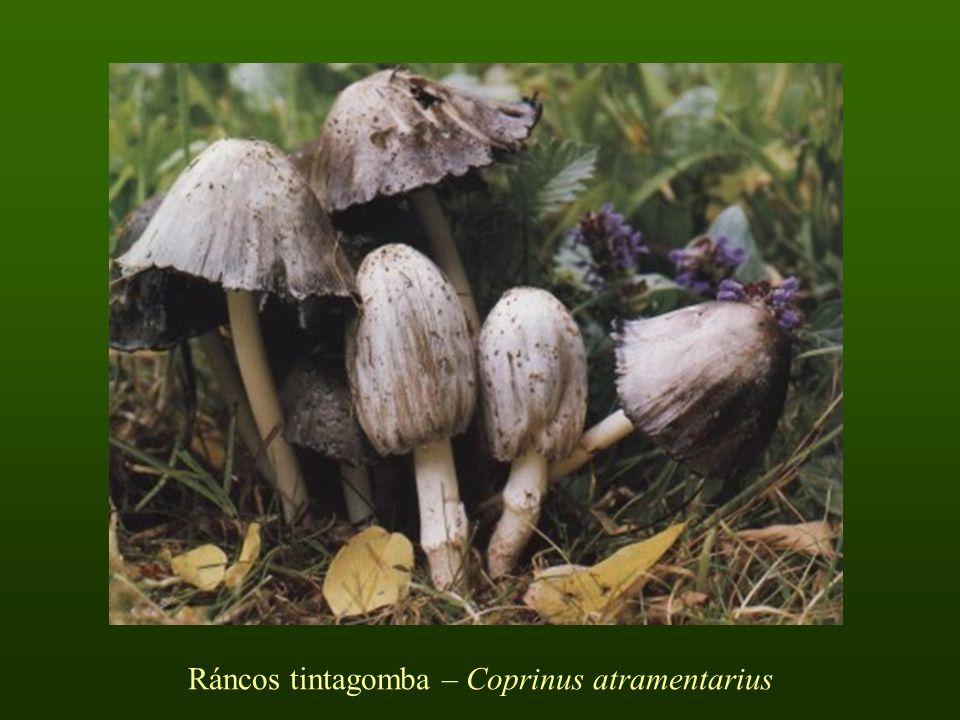 Ráncos tintagomba – Coprinus atramentarius