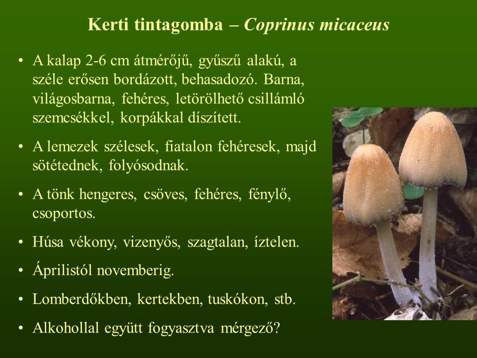 Kerti tintagomba – Coprinus micaceus