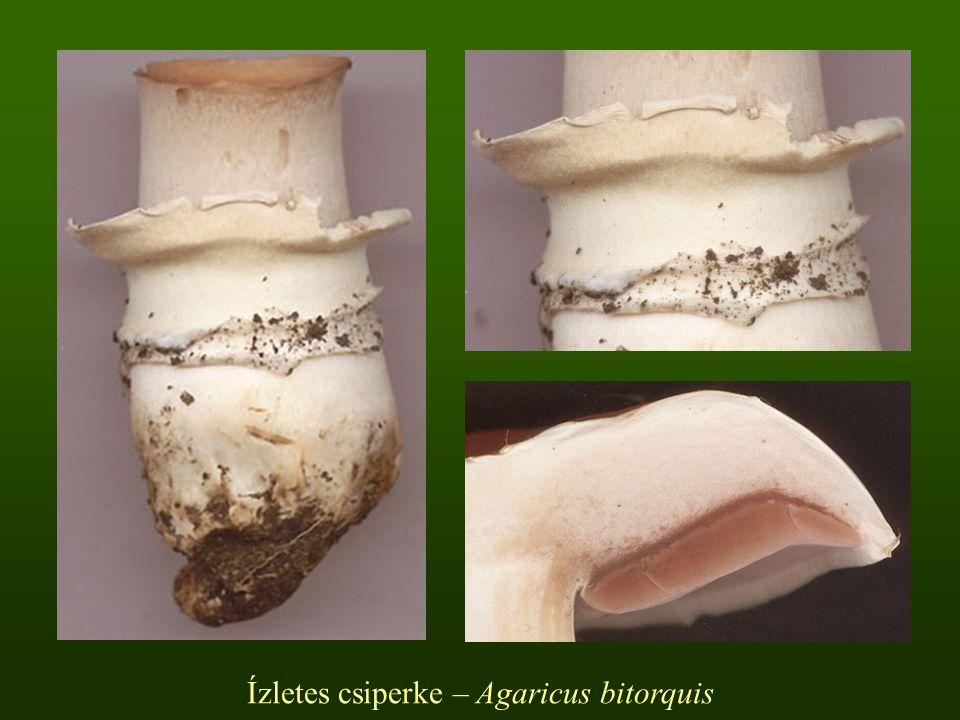 Ízletes csiperke – Agaricus bitorquis