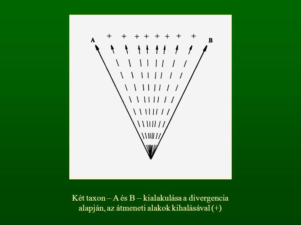 Két taxon – A és B – kialakulása a divergencia alapján, az átmeneti alakok kihalásával (+)