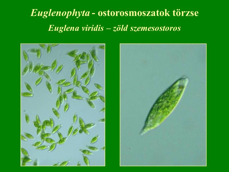 Euglenophyta - ostorosmoszatok törzse