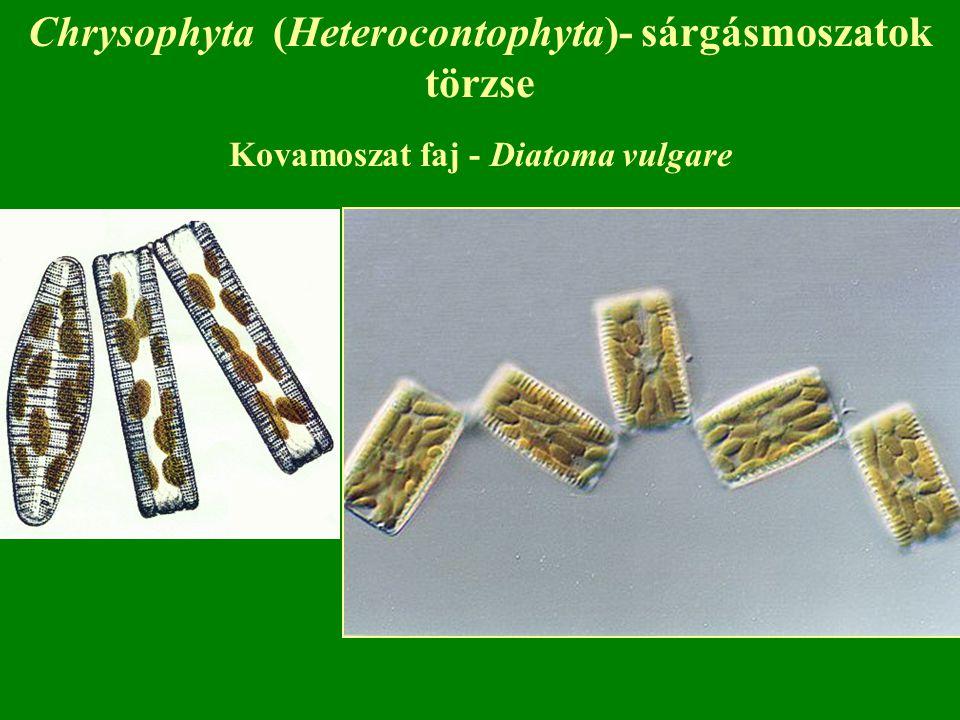 Chrysophyta (Heterocontophyta)- sárgásmoszatok törzse