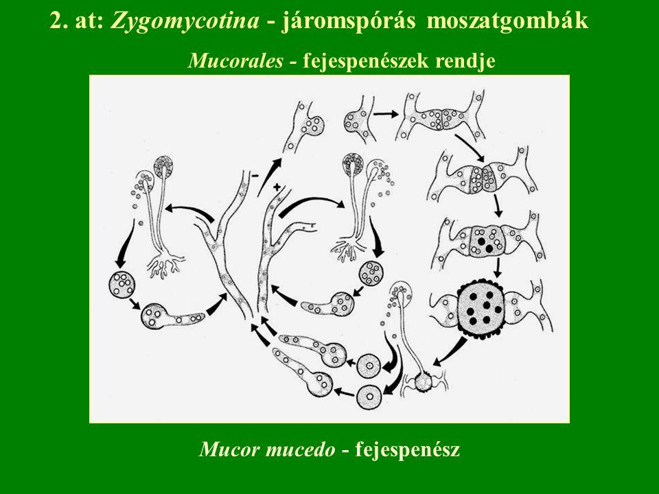 2. at: Zygomycotina - járomspórás moszatgombák