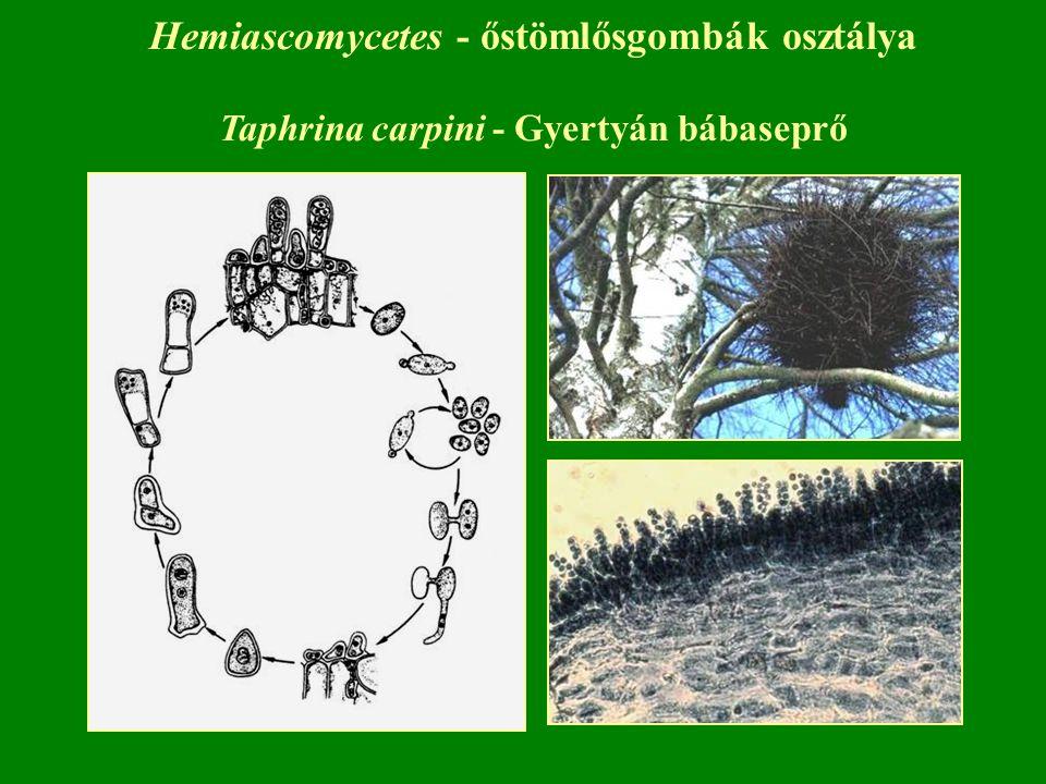 Hemiascomycetes - őstömlősgombák osztálya