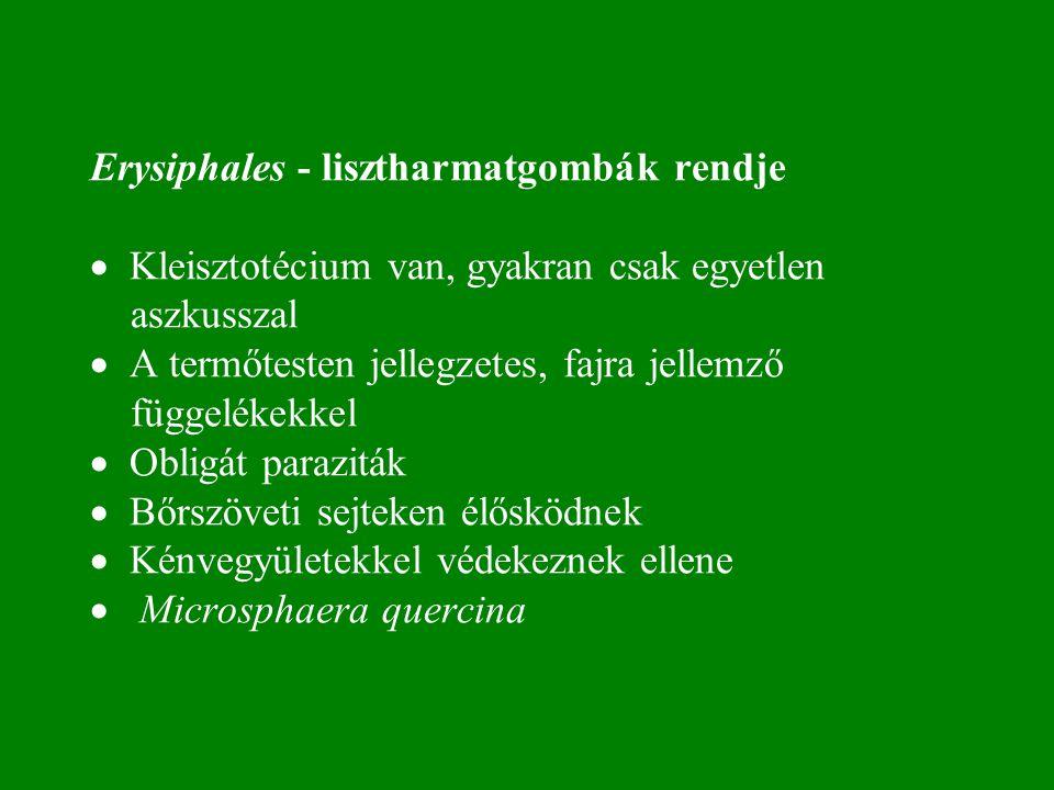 Erysiphales - lisztharmatgombák rendje · Kleisztotécium van, gyakran csak egyetlen aszkusszal · A termőtesten jellegzetes, fajra jellemző függelékekkel · Obligát paraziták · Bőrszöveti sejteken élősködnek · Kénvegyületekkel védekeznek ellene · Microsphaera quercina