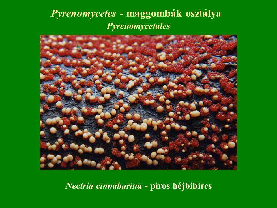 Pyrenomycetes - maggombák osztálya