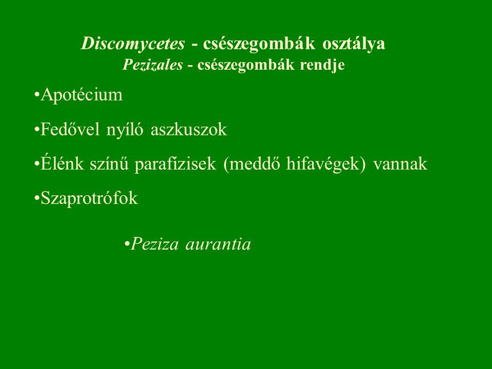 Discomycetes - csészegombák osztálya Pezizales - csészegombák rendje