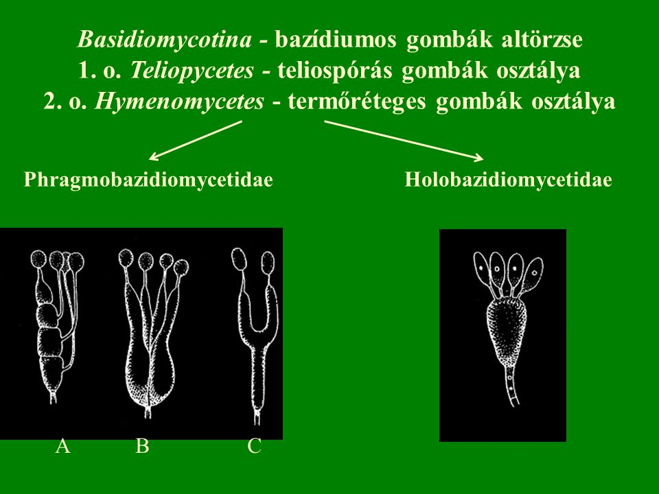 Basidiomycotina - bazídiumos gombák altörzse