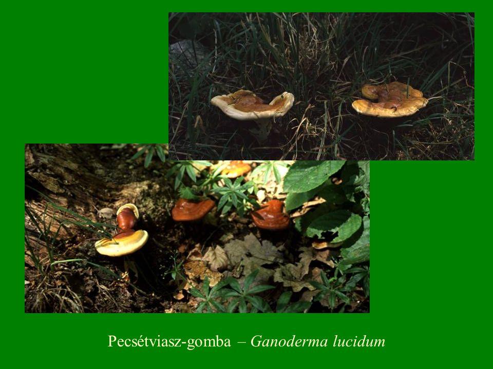 Pecsétviasz-gomba – Ganoderma lucidum