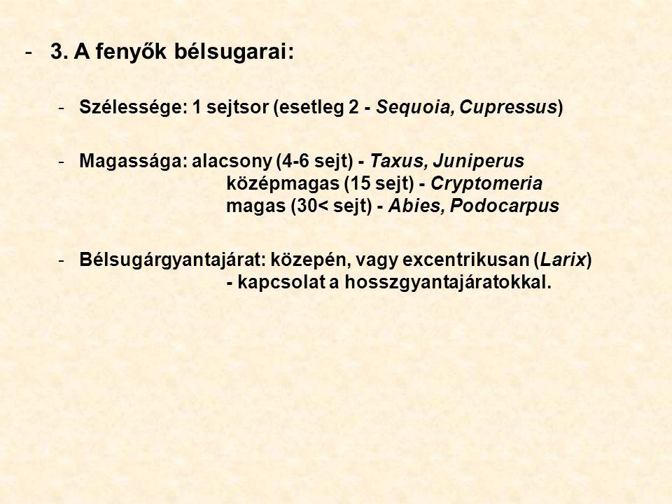 3. A fenyők bélsugarai: Szélessége: 1 sejtsor (esetleg 2 - Sequoia, Cupressus)